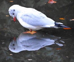 Reflections (Ian Robin Jackson) Tags: seagull aberdeen johnstongardens sony zeiss september autumn fall blackheadedgull water leaves nature gardens scotland