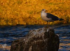goéland leucophée (RTM-Photos) Tags: goeland leucophée bord du rhone fiente matin mouette oiseaux