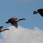 Canadian Geese over Argyle Lake thumbnail