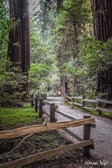 10 - Redwoods of Muir Woods National Monument (xTexAnne) Tags: ©diannewhite nikond7200 california muirwoodsnationalmonument forest redwoods trees fence 100x2017 100x10of10