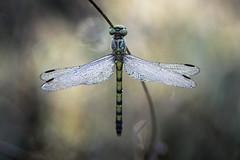 Pureté (donlope1) Tags: macro nature light dragonfly libellule proxi wild wildlife morning dew sun sunrise