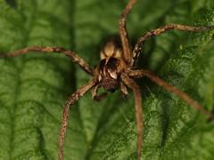 EOS 7D Mark II_055075 (gertjan.kamsteeg) Tags: animal invertebrate bug macro spider pardosa