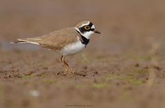 Little Ringed Plover (Jawad_Ahmad) Tags: nature naturephotographer naturelover naturephotography birds bokeh beautyofnature birdwatcher wildlifeofpakista flicker wetland muddy littleringedplover sialkot pakistan birdarrundworld