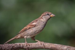 Passer italiae (juvenile male).