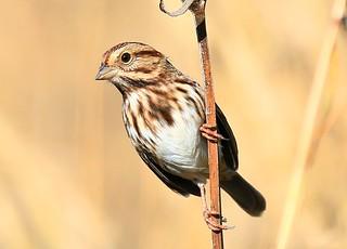 song sparrow on cup plant at Decorah Prairie IA 854A0564