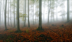 forest (witoldp) Tags: beskidy beskid żywiecki rycerka rajcza wielka racza jesie forest wood buczyna autumn poland landscape mgła fog mountains karpathians mist tree leaf