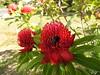 bumble bee on waratah (jeaniephelan) Tags: bumblebee waratah flower