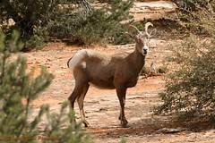 Big Horn Sheep - Colorado (eabelcher) Tags: bhs bighornsheep colorado