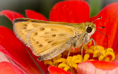 Fiery Skipper (tresed47) Tags: 2017 201710oct 20171006homemacro butterflies canon7d chestercounty content fall fieryskipper folder home insects macro october pennsylvania peterscamera petersphotos places season skipper takenby technical us