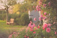 Autumn Garden? (paulapics2) Tags: bench depthoffield dreamy nature roses gate canoneos5dmarkiii canonef70300mmf456lisusm englishcountrygarden clippesbyhall pink autumn fall october