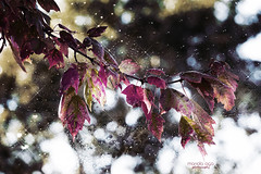 leaves (mariola aga) Tags: autumn tree leaves color change bokeh colorbalance art coth alittlebeauty coth5