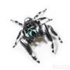 Bold Jumper for Jumping Spider Day - Arachtober 10 (jciv) Tags: jumpingspider spider file:name=dsc03659 macro jumpingspiderday2017 arachnid arana araña spinne onwhite