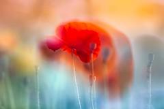 Sommertraum (SonjaS.) Tags: mohnblumen mohn flowers sommer summer blüte rot licht sonne sun harmonie farben colors canon6d makro 100mm doppelbelichtung doubleexposure