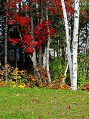 Fall's Glory! (clickclique) Tags: fall trees white red green grass lawn birch maple october outdoors nature gestalt tree park