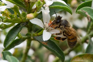 G03_Thiele and Vile_Honey bee on White flower bush with bee G03_6931.jpg