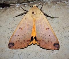 ecosystem/fauna/Guava Moth(Ophiusa disjungens) (biodiversity western ghats(before it is gone)) Tags: erebidae erebinae diversityindia faunaofwesternghats indianmoths