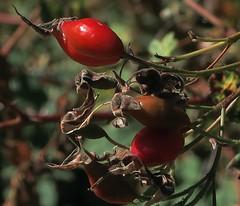 J20171002-0044—Rosa californica—RPBG—DxO (John Rusk) Tags: dxokodakporta160vcpreset dxofilmpack ebparksok taxonomy:kingdom=plantae plantae taxonomy:subkingdom=tracheophyta tracheophyta taxonomy:phylum=magnoliophyta magnoliophyta taxonomy:class=magnoliopsida magnoliopsida taxonomy:order=rosales rosales taxonomy:family=rosaceae rosaceae taxonomy:genus=rosa rosa taxonomy:species=californica taxonomy:binomial=rosacalifornica rosasilvestrecaliforniana rosacalifornica californiawildrose californiarose otsur taxonomy:common=rosasilvestrecaliforniana taxonomy:common=californiawildrose taxonomy:common=californiarose taxonomy:common=otsur