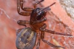 Arachtober 11 (Procrustes2007) Tags: spider amaurobius amaurobiussimilis laceweb arachnid arachtober macro nikond50 nikkor50mmais tamron2xteleconverter vivitarextensionrings68mmtotal flash greatcornard suffolk uk britain england gridreftl883407 cribellate