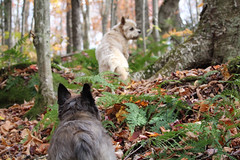 Sedum & Jeter - 10/23/17 (myvreni) Tags: vermont autumn fall foliage nature outdoors animals dogs cairnterriers pets