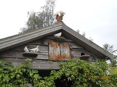 Doves & Hops (Landstrider1691) Tags: doves hops garden dovecote ribchester countrygarden