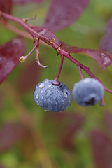 Blueberry droplets (isvei) Tags: pentax pentaxk3 k3 makro macro nærbilde closeup blue green blueberry blåbær blå grønn høst høststeming autumn fall 2017 oktober october norge norway norsknatur norwegian droplets waterdroplets dråper dråpe vanndråper vanndråpe tjøme mågerø vestfold