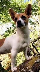 🐾🐾🐾 (staceygallagher2) Tags: pose nature pet animal tree jackrussell doggo doggie dog