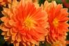 Dahlia (s andrews) Tags: flower orange bloom bright dahlia closeup tamron90mm28
