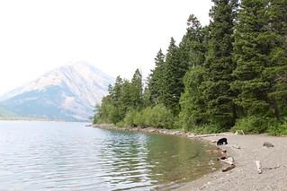 Black bear roaming near Upper Waterton Lake