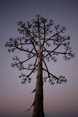 Anglų lietuvių žodynas. Žodis agave americana reiškia Agavos americana lietuviškai.