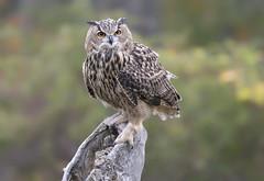 Eurasian Eagle Owl (sspike@rogers.com) Tags: owl eagle steverossi crc raptor