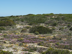 P9160268 West Coast National Park Flowers (Joanna P Dale) Tags: westcoastnationalpark flowers scenery southafrica omdem1 mk1 olympus 35mmzuiko 35mmmacro