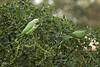 IMG_5511-2 (Jamil-Akhtar) Tags: canon 50d jupiter jupiter21 200mm nature birds parrot islamabad pakistan