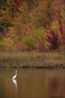 Great Egret in Autumn Setting