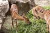 nyala (filippo.bassato) Tags: nyala antilope mammifero