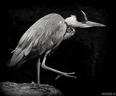Heron Dodder River (denisekennedy) Tags: heron blackandwhite birdsofafeather wildlife dodder dublin canon wildthing