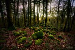 Hayedo (Beech Wood) (ric.gayan) Tags: