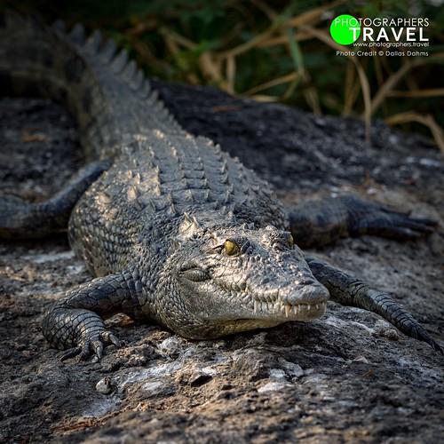 Zambezi Croc - Chobe 2015