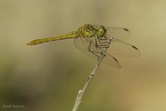 Parásitos en las alas. Parasites on the wings. (Ricardo Menor) Tags: odonatos anisópteros sympetrummeridionale macho male parásitos iluminaciónnatural airelibre teresadecofrentes canon60d naturallighting dragonfly dragonflies 2017 libelula