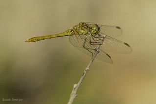Parásitos en las alas. Parasites on the wings.