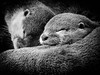 _DSC8831-Edit.jpg (Matt Sillence) Tags: otter sleeping furry fur summer monochrome animal swimmers claws eyes sleep three mattsill mattsillence scotland whiskers nose mouth teeth