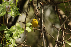 Wilson's warbler / chipe coroninegro (Cardellina pusilla) (Gogolac) Tags: 2017 birdphotography birdie birds canon7dmii centralpark fauna location newyork otoño park season usa year aves birdspot fotografiasrealizadasenel2017