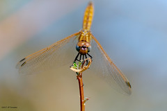 La dernière de l'année (jpto_55) Tags: insecte odonate libellule macro bokeh fuji fujifilm fujixf55200mmf3548rlmois hautegaronne france ngc