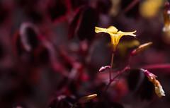 Flower (Tomas_Boquite) Tags: flower amateur nature naturepics canon 1855 remaso 55mm