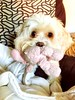 She fills my heart without even trying ♥️ (aly_cali) Tags: chipoo poodle chihuahua white happy love cute animals animal dog puppy