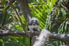 Cotton-top Tamarin (pradeep2471989) Tags: wildlife wildlifephotography birdwatching birdsofaustralia birdlife tarongazoo canon5dmk2 canon100400ii telephotolens