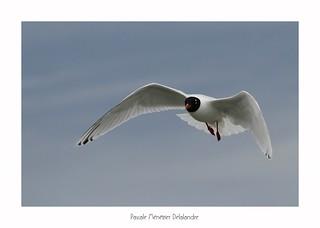 Mouette mélanocéphale - Mediterranean Gull