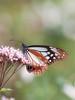 アサギマダラ (Polotaro) Tags: tamronsp90mmf28macro1172b butterfly insect bug nature olympus epm2 pen zuiko チョウ 蝶 虫 昆虫 自然 オリンパス ペン ズイコー アサギマダラ 10月 庭 garden