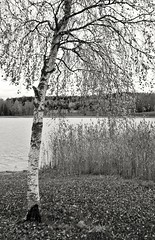 Autumn in monochrome (Stefano Rugolo) Tags: stefanorugolo pentax k5 kepcorautowideanglemc28mm128 autumn monochrome birch tree lake lakeside verticalformat blanckandwhite countryside landscape fall hälsingland sweden sverige reeds branches foliage leaves