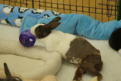 Rabbit Fest 2017 (Tjflex2) Tags: rabbit rabbitfest bunny bunnies conejo lapin disabled