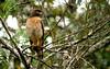 Roadside Hawk (helmutnc) Tags: hennysanimals hg specanimal sweetfreedom